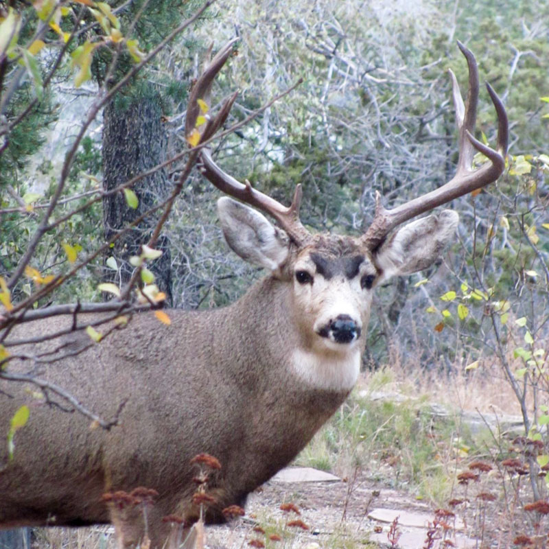an elk in beverly's herb garden
