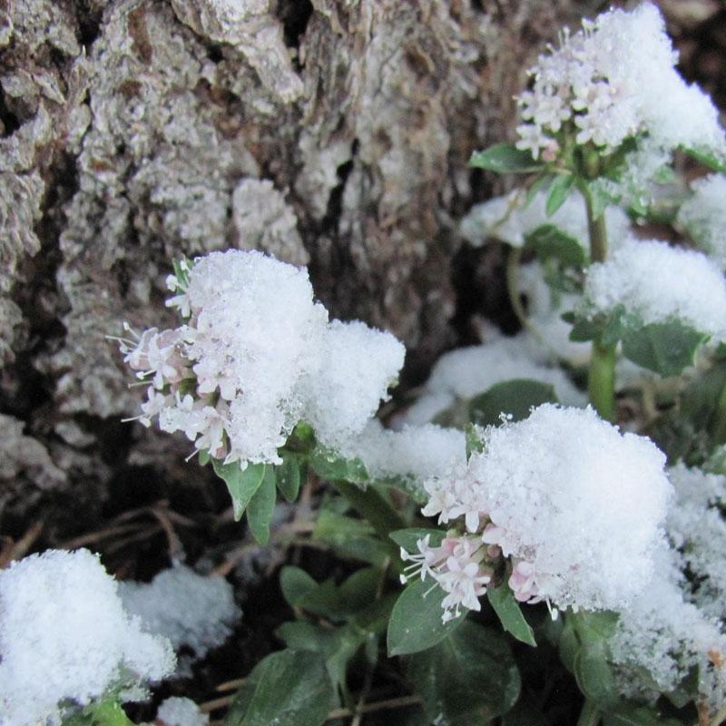 valerian winter herbal